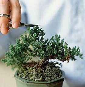 Cómo cuidar un bonsai - Podar