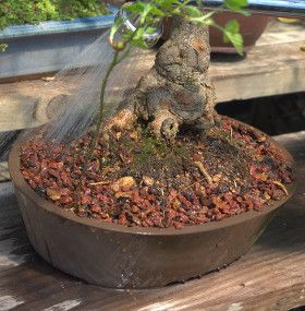 Cómo cuidar un bonsai - Regar