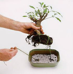 C mo cuidar un bonsai for Como cultivar bonsais