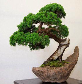 ¿Cómo cuidar un bonsai?
