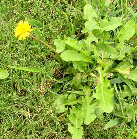 Cómo cuidar el césped - Malas hierbas
