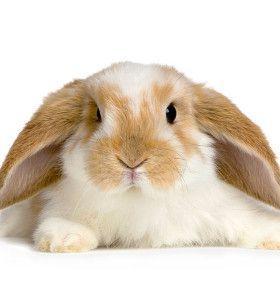 Cómo cuidar un conejo doméstico - Frágil