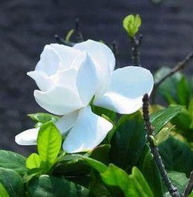 Cómo cuidar las gardenias - Flores