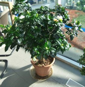 Cómo cuidar las gardenias de interior