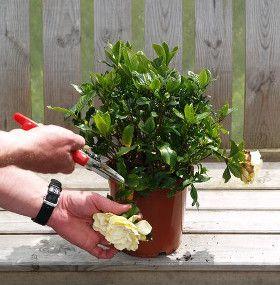 Cómo cuidar las gardenias - Poda