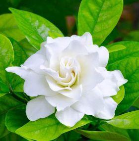 ¿Cómo cuidar las gardenias?