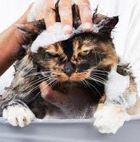 Cómo cuidar un gato - Baño