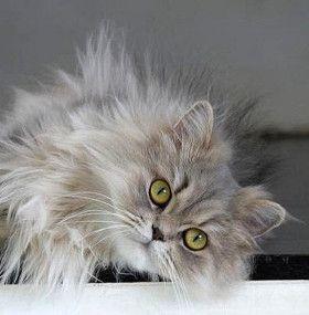 Cómo cuidar un gato - Pelo largo