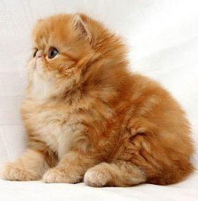 Cómo cuidar un gato - Raza