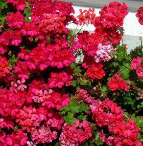 Cómo cuidar un geranio - Flores
