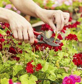 C mo cuidar un geranio - Como cuidar hortensias en maceta ...
