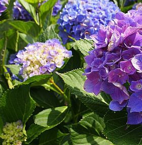 Cómo cuidar las hortensias - Planta