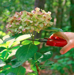 Cómo cuidar las hortensias - Poda