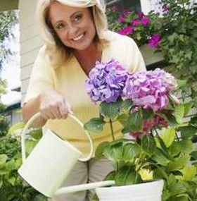 Cómo cuidar las hortensias - Regar