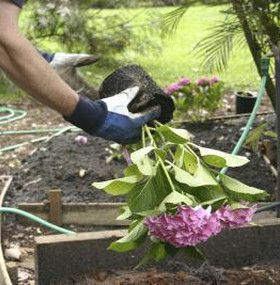 Cómo cuidar las hortensias - Trasplantar