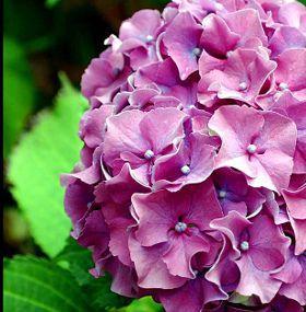 Cuidado hortensias interior - Cuidado de las hortensias ...