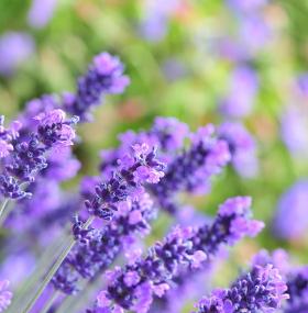 Regar planta lavanda - Como cuidar una hortensia de exterior ...