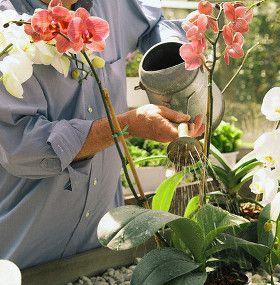Cómo cuidar una orquídea - Riego