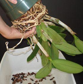 C mo cuidar una orqu dea - Como cuidar las hortensias en maceta ...