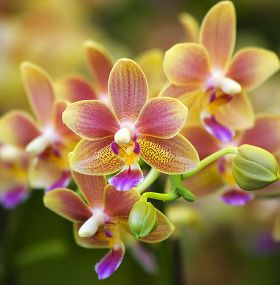 ¿Cómo cuidar una orquídea?