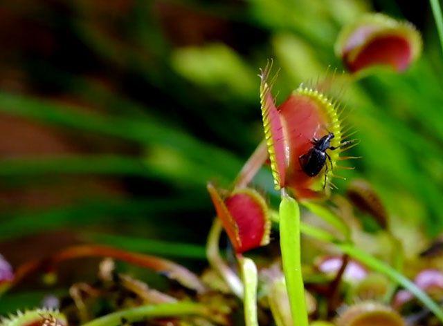 Cómo cuidar un plantas carnívoras - Alimentación