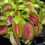 Cómo cuidar un plantas carnívoras - Dionaea