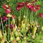 Cómo cuidar un plantas carnívoras - Sarracenia Purpurea