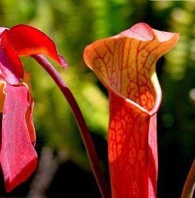 Cómo cuidar un plantas carnívoras - Colocación
