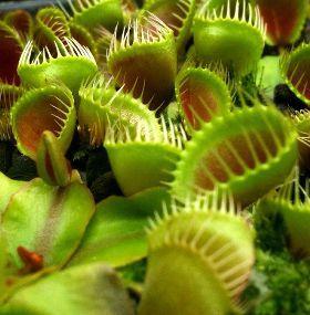 Cómo cuidar un plantas carnívoras