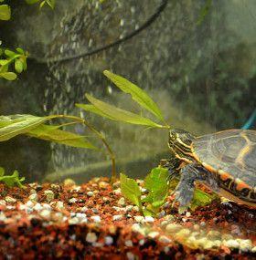 Cómo cuidar tortugas de agua - Plantas