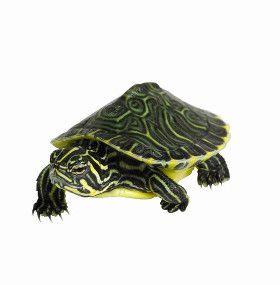 ¿Cómo cuidar tortugas de agua?