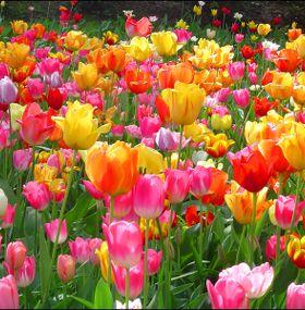 ¿Cómo cuidar tulipanes?